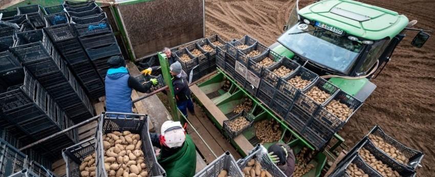 Raw potatoes surge but fries fall behind